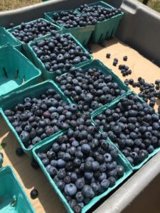 Falmouth Farmers Market 2015 blueberries
