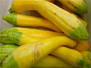Summer Squash at Falmouth Farmers Market July 2016